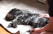 Offrir un massage à mon chien